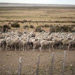 KRzXCuKLnPtiAEciY0vadSP89tWzBpg1VtkphMq6HxQ 150x150 - Patagonia Inc. effettua il primo ordine di lana prodotta dagli allevatori di pecore nell'omonima regione argentina