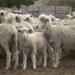 LIiTc0RB3F0t37 vXFYVBdVF1f ks gIemGuM5gcQMk 150x150 - Patagonia Inc. effettua il primo ordine di lana prodotta dagli allevatori di pecore nell'omonima regione argentina