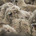 QH2PlqfOJvWlBZc8ifOQLSiORaBu7B1B vKx3rmeJgA 150x150 - Patagonia Inc. effettua il primo ordine di lana prodotta dagli allevatori di pecore nell'omonima regione argentina
