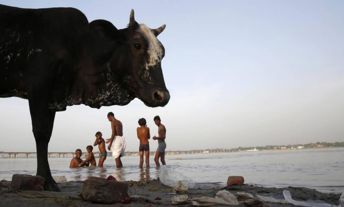 mucca india lp.jpg 1160x698 - Letame venduto on-line. Affari d'oro per Amazon e Ebay.