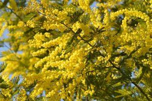 Perché si regalano le mimose l'8 marzo?