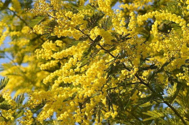 mimosa 2081990 640 - Perché si regalano le mimose l'8 marzo?