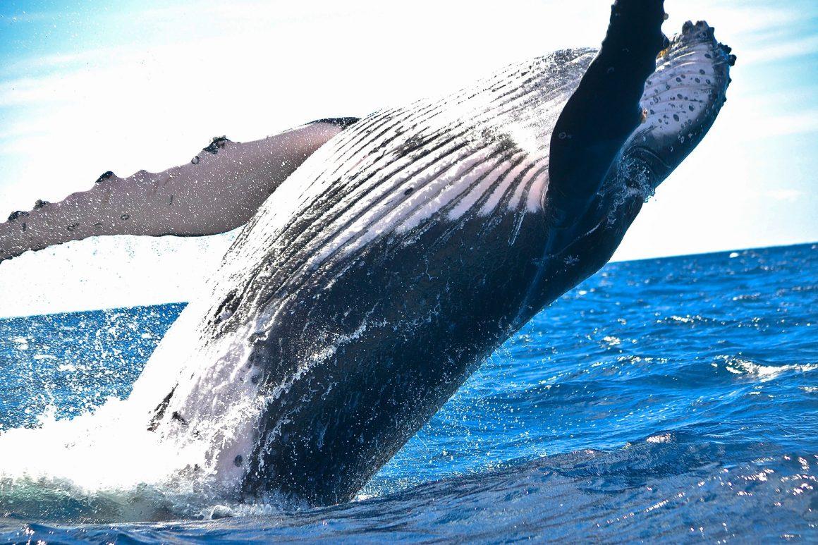 una balena ha davvero avviato il grande rally bitcoin dove andra avanti 1160x773 - Una balena ha davvero avviato il grande rialzo 2019 di Bitcoin? Fino a quando andrà avanti?